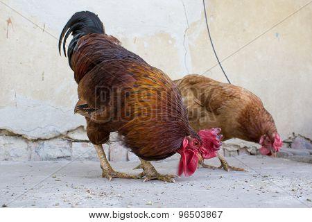 Rooster Eats Grain