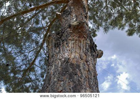 sky and pine
