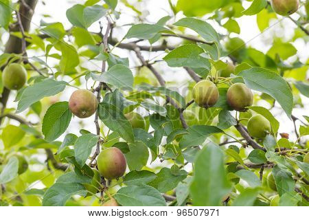 Young Green Apples On Branch