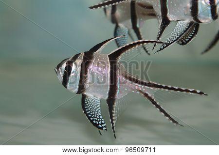 Banggai cardinalfish (Pterapogon kauderni) aquarium marine fish