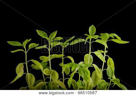 Basil plants growing isolated over black background