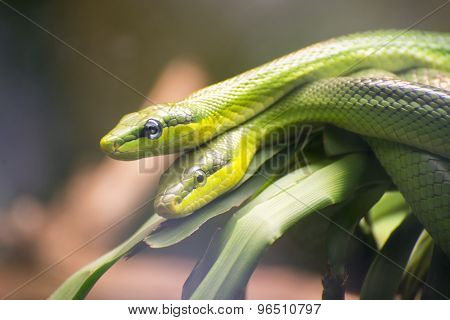 Two Red-tailed Green Ratsnakes mating or reproducing.