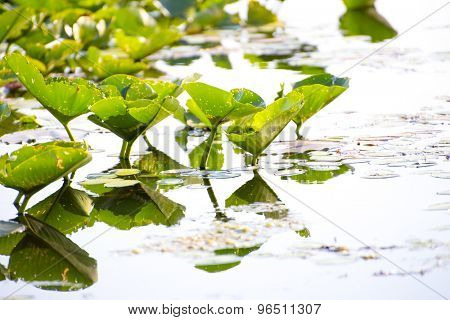 Detail of lilly pads reflected on water, Point Pelee national park, Ontario, Canada
