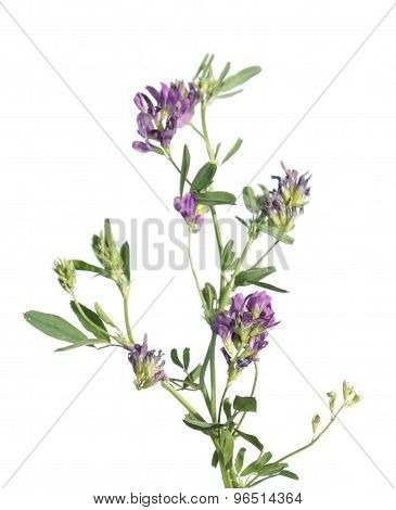 Alfalfa (medicago sativa or lucerne) isolated on white background