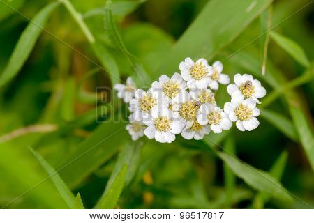 White Achillea Flower
