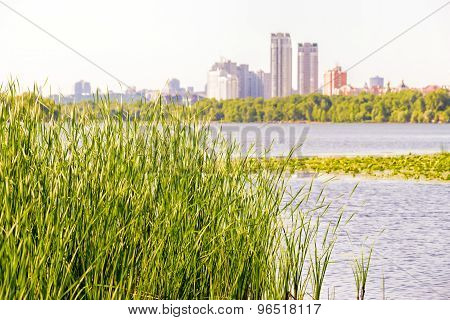 Reeds Close To The Dnieper River