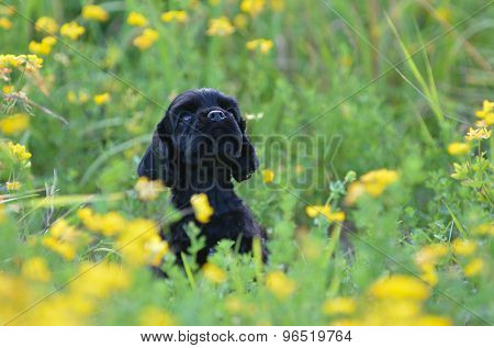 cocker spaniel puppy peeking out from yellow flowers - 7 weeks old