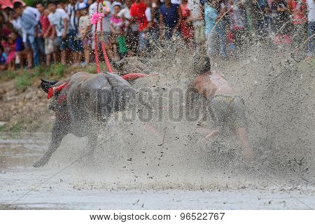 Water Buffalo Tradition