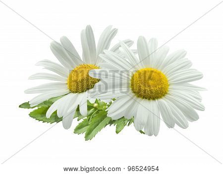 Double Chamomile Composition Isolated On White Background