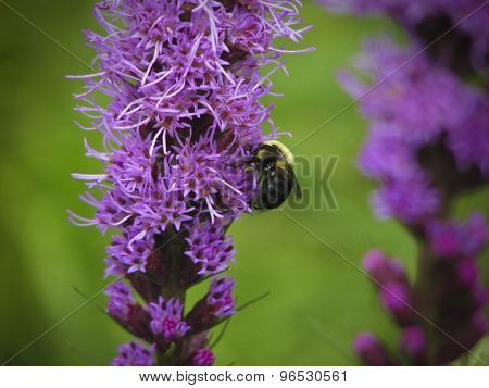 Bumble bee on purple flowers