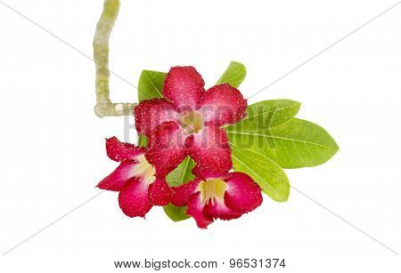 Desert Rose Flower Isolation