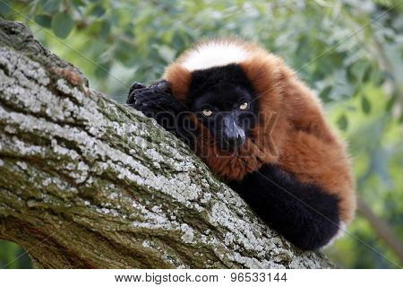 Portrait Of A Red Lemur Lying In A Tree