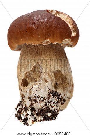Boletus mushroom on a white background.