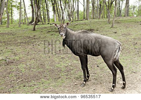 A Nilgai (also called Bluebuck), the largest antelope and a native of India looking at the viewer.