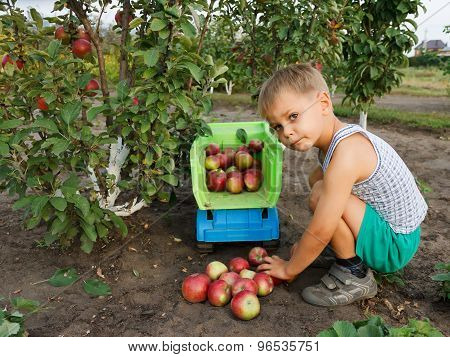 Boy Collects  Harvest Of Apples And Adds Into A Truck.