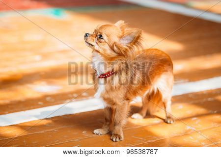 Beautiful Young Red Brown And White  Tiny Chihuahua Dog Staying
