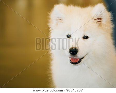White Samoyed Dog Puppy Whelp Close Up