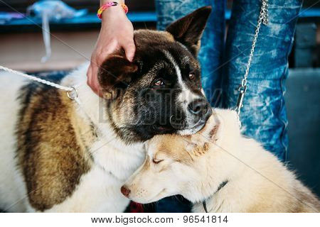 Young Husky Puppy Eskimo Dog And American Akita Sitting Together