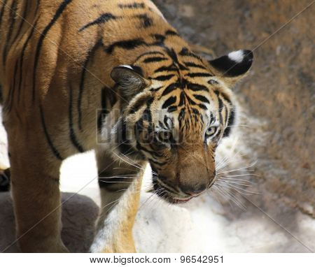 A Close Portrait Of A Watchful Tiger