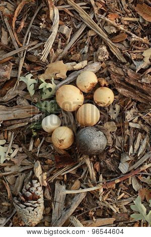 a group of oak galls on forest floor