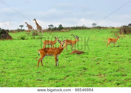 African Wildlife, Uganda