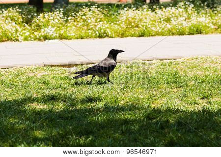raven  walking on the lawn
