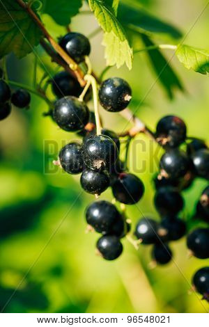 Black Currant. Growing Organic Berries Closeup. Ripe Currant In