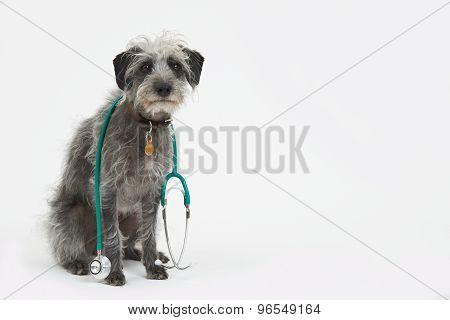 Studio Shot Of Lurcher Dog Wearing Stethoscope