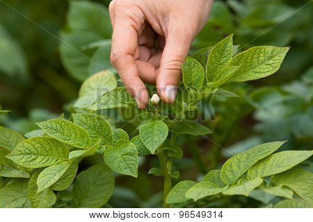 Picking Flowers From The Potatoes, Closeup