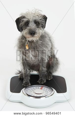 Studio Shot Of Lurcher Dog Sitting On Bathroom Scales
