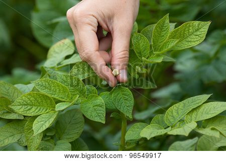 Hand Picking Flowers From The Potatoes