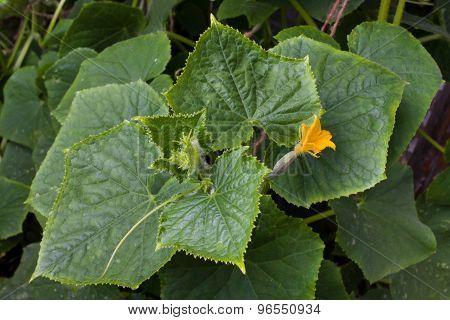 Cucumber In The Garden, Top View