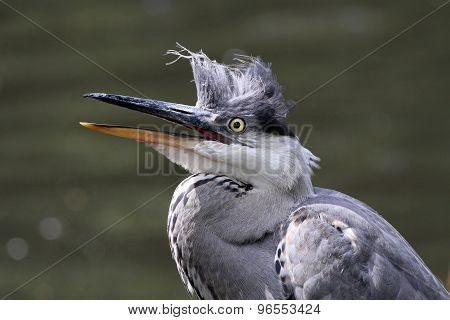 A Young Blue Heron