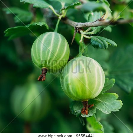 Gooseberries On A Bush In The Garden