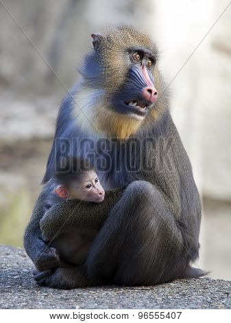 Mandrill Mother With Her Baby