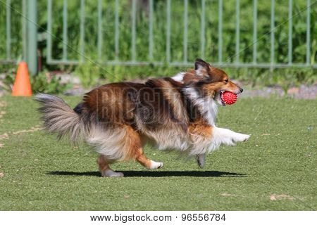 dog runs during training
