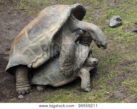 Mating Giant Turtles