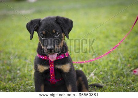 Cute Rottweiler