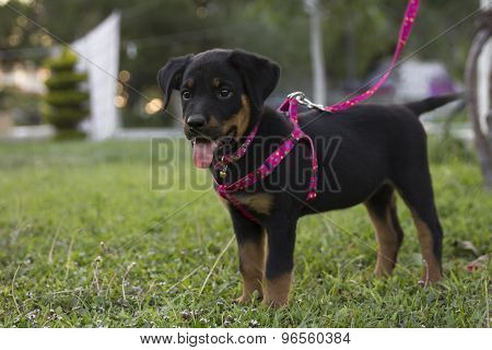 Small, Cute Rottweiler