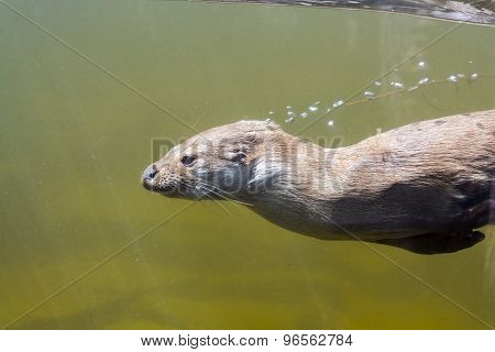 Swimming Otter (lutra Lutra)