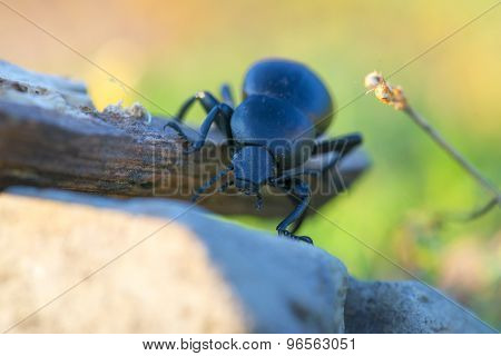 Beetle On A Stick Isolated