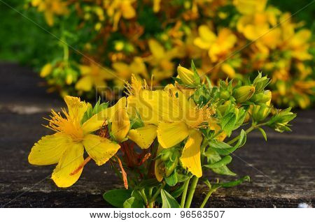 St. John's Wort Close Up