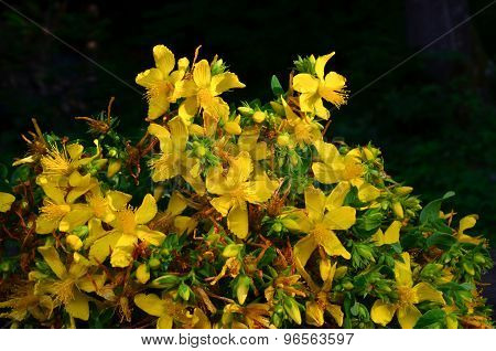 Bouquet Of St. John's Wort
