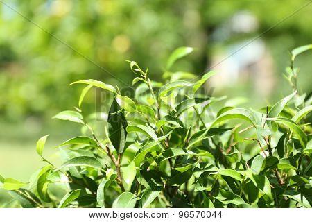 Green tea bush with fresh leaves, outdoors