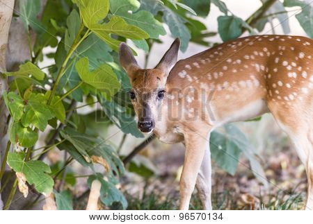 Fawn In Fig Tree