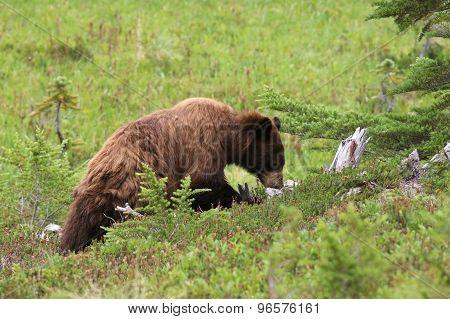 Juvenile Black Bear Foraging