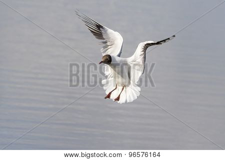 Black Headed Gull (larus Ridibundus)
