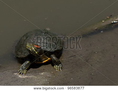 Red eared slider turtle, Trachemys scripta elegans