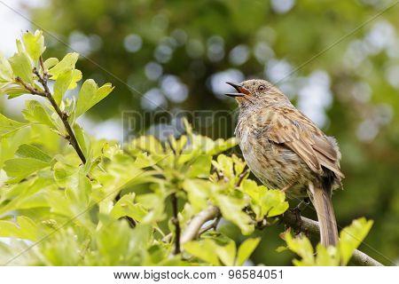 Dunnock (prunella Modularis)