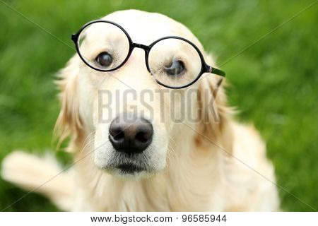 Adorable Labrador in glasses sitting on green grass, outdoors